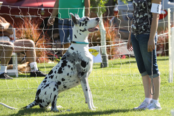 Great Dane Nationals - Obedience
