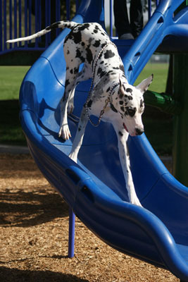 Great Dane on the playground