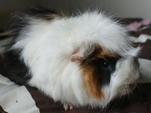 Cosmo, the Guinea Pig